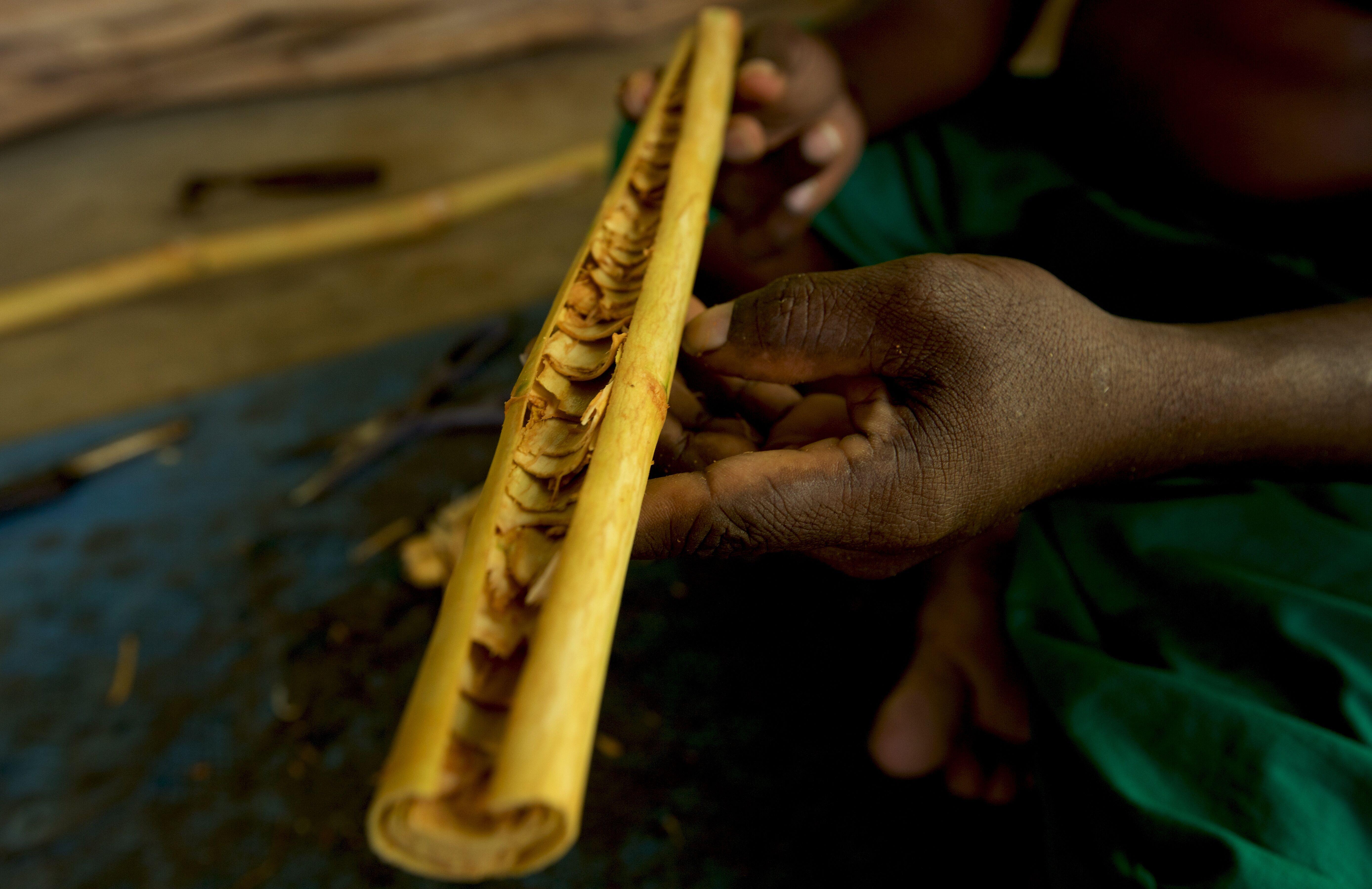 The art of cinnamon extraction in Galle, Sri Lanka. Photo credit : Dilshad Sadiq